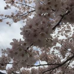 桜散りゆく。
